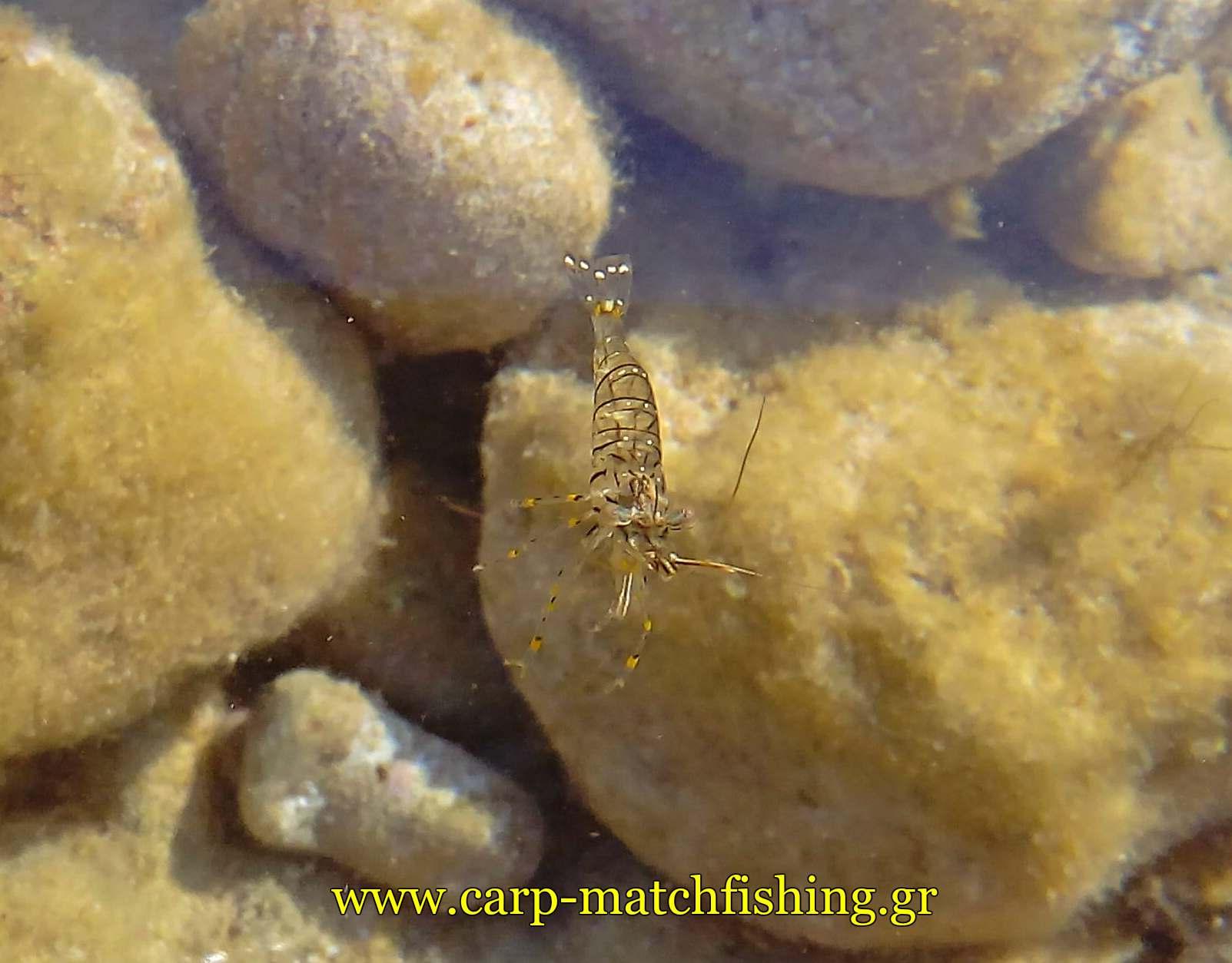 zontani garida carpmatchfishing