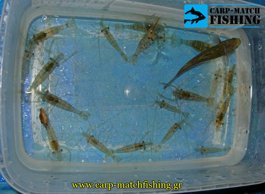 zontanes garides matchfishing lavrakia carpmatchfishing