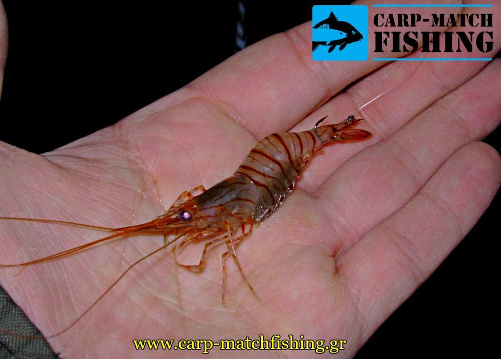 zontani garida gia doloma dolosia match carpmatchfishing