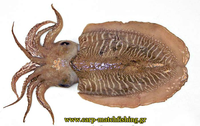eging-cuttlefish-anatomy-carpmatchfishing