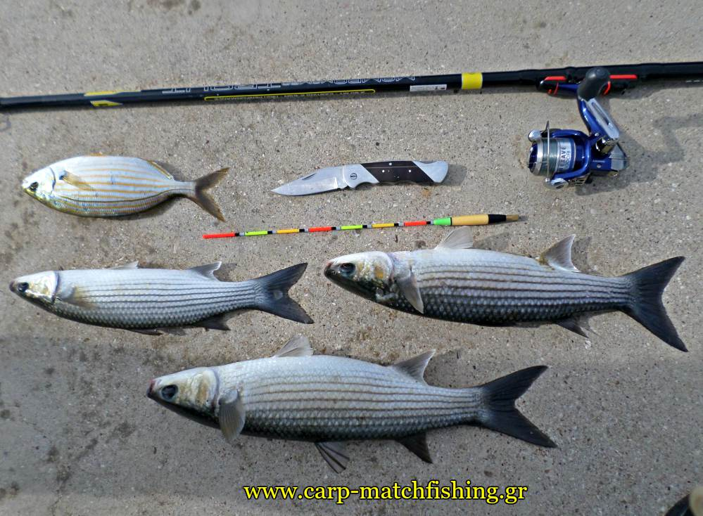 matchfishing-kefaloi-mullets-rod-carpmatchfishing